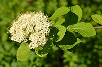 Viburnum lantana, leaves and flowers