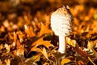 Mushroom among autumn leaves
