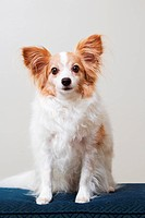 a papillon dog portrait
