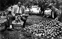 europa, italia, calabria, scilla, la raccolta dei limoni presso favazzina, 1920 1930