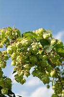 Wild Hops (Humulus lupulus)
