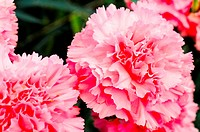 Dianthus caryophyllus