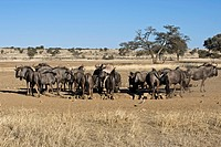 Herd of Blue Wildebeests Connochaetes taurinus drinking from waterhole in the Kalahari desert, Kgalagadi Transfrontier Park, South Africa