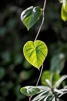 Heart_shaped leaf