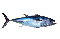 Bluefin tuna really fresh isolated on white Thunnus thynnus