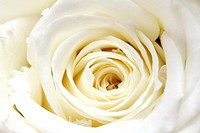 white rose petals close_up