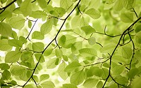 Fagus sylvatica, Beech, Green subject
