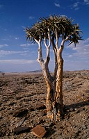 Aloe dichotoma, Quiver tree, Brown subject.