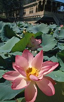 Nelumbo nucifera, Lotus, Sacred lotus, Pink subject.