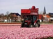 Tulipa cultivar, Tulip, Pink subject.