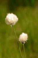 Eriophorum vaginatum, Grass, Cotton grass, Hares tail, White subject, Green background