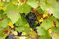 Vitis vinifera, Grape, Black subject.