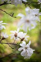 Magnolia stellata, Magnolia, White subject.