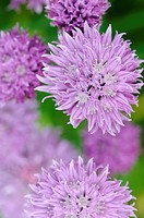 Allium schoenoprasum, Chive, Purple subject