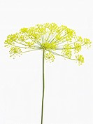Anethum graveolens, Dill, Yellow subject, White background.