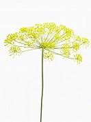 Anethum graveolens, Dill, Yellow subject, White background.