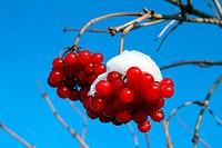 snowball tree berryes under snow