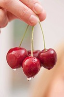 A hand holding sweet cherries