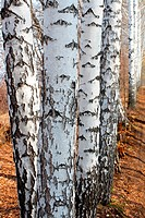 group of birch woods