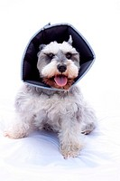 miniature schnauzer with a cone around her neck