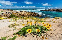 Cape Columbine Nature Reserve, West Coast Peninsula, Western Cape province, South Africa, Africa