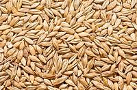 freshly harvested barley
