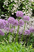 Ornamental allium Allium and cow parsley Anthriscus sylvestris 'Ravenswing'