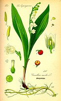 Lilly of the valley Convallaria majalis. The seeds of this medicinal plant are poisonous. From Flora of Germany, Austria and Switzerland 1885, O. W. T...