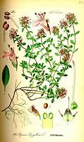 Wild thyme Thymus serpyllum. From Flora of Germany, Austria and Switzerland 1885, O. W. Thomé.