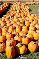 Orange pumpkins on display in field for Halloween