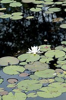 Water Lily during the summer months in a New Hampshire USA pond . This plant is part of the Water_Liiy family .Notes: