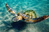 Sea turtle Chelonia mydas agassizi.
