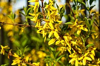 Forsythia flowers bush