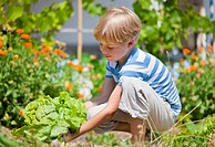 Germany, Bavaria, Boy picking lettuce in garden