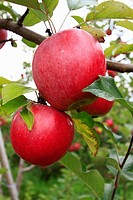 several cortland apples on an apple tree