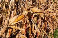 Maiskolben im Maisfeld vor der Ernte