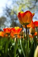 Closeup of flower, tulip