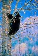 A black bear climbs a tree and holds on with his teeth.