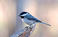 A Black _ Capped Chickadee sits on a piece of wood.