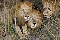 Three wounded young male adult lions after nightly fight. The hunt during the night included a fight with a very old male Lion.