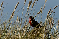 A military starling sings in long grass.