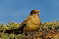 Portrait of an Austral or Falkland Thrush.