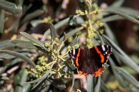 Red admiral, Vanessa atalanta, butterfly rests on an Olive tree.