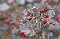 A hawthorn bush covered in ice in winter.