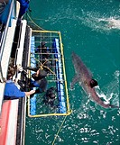Great White Shark Carcharodon carcharias swimming at the surface while divers observe from a shark cage, Capetown, False Bay, South Africa. MR