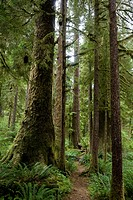 A trail through the largest Sitka spruce groves left in the world.