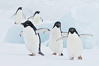 Five adelie penguins walk on a snowy landscape.