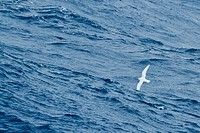 A snow petrel soars over the ocean.