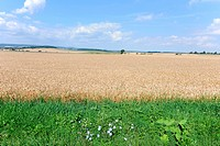 Wheat field and wild flowers in summer