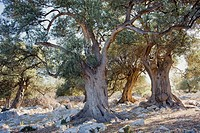 Old olive trees, Lun, Pag, Croatia